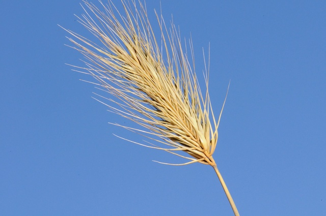 Hordeum marinum image