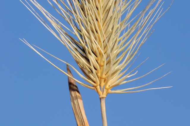 Image of Hordeum marinum