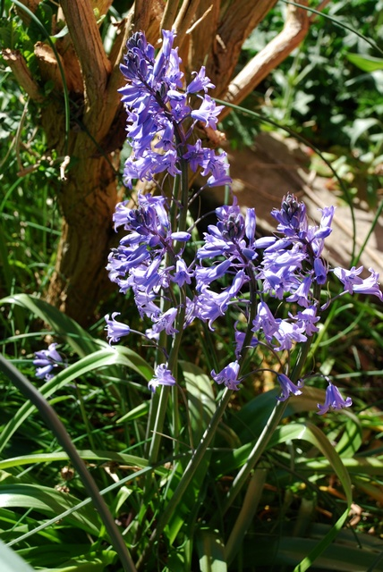 Spanish Squill, Garden Squill (Hyacinthoides hispanica)