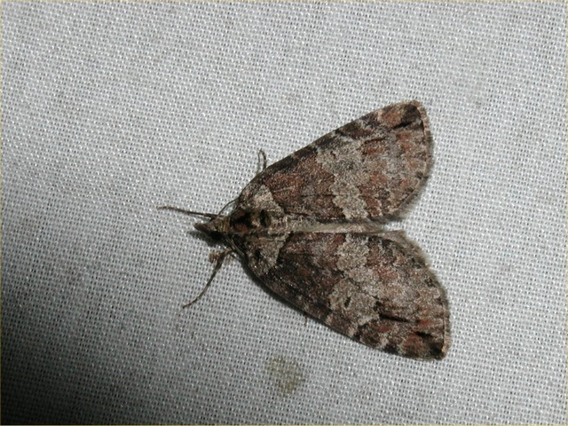 Ruddy Highflyer (Hydriomena ruberata)