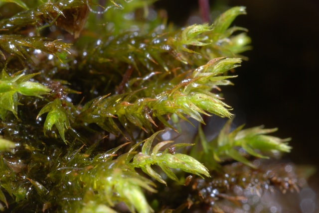 Fountain Feather-moss (Hygroamblystegium tenax)