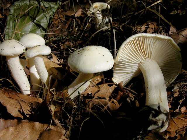 Yellowing Woodwax (Hygrophorus discoxanthus)