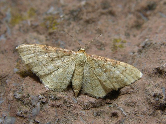 Isle of Wight Wave (Idaea humiliata)