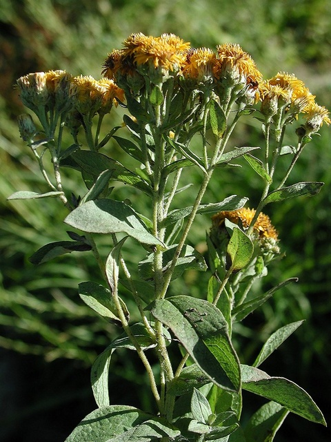 German Inula (Inula germanica)