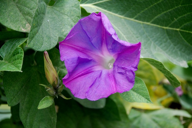 Ipomoea indica image