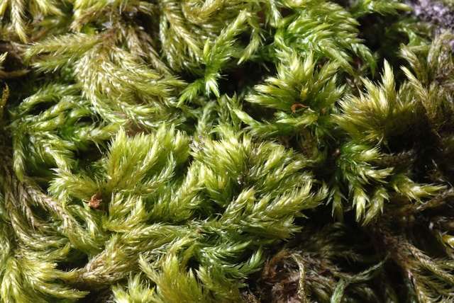 Slender Mouse-tail Moss (Isothecium myosuroides)