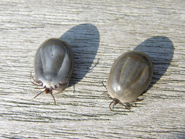 Sheep or Pasture tick (Ixodes ricinus)