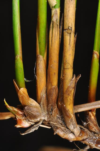 Image of Juncus filiformis