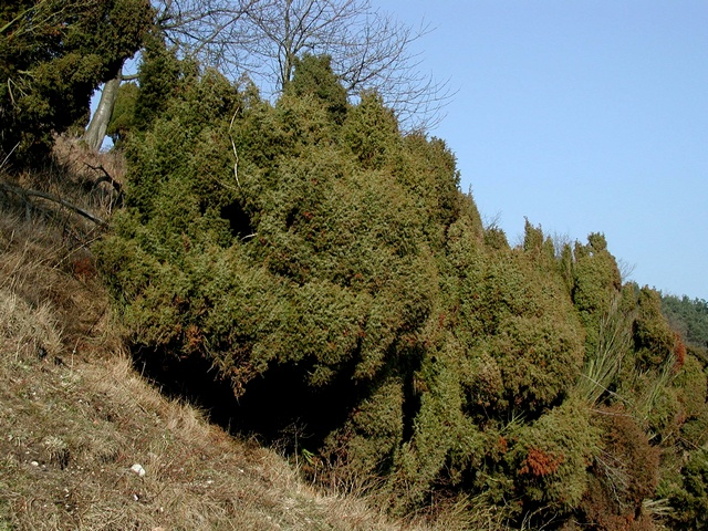 Common Juniper (Juniperus communis)