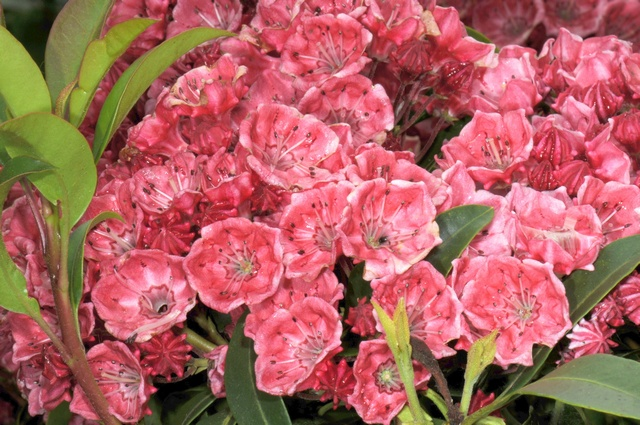 Sheep-laurel (Kalmia latifolia)