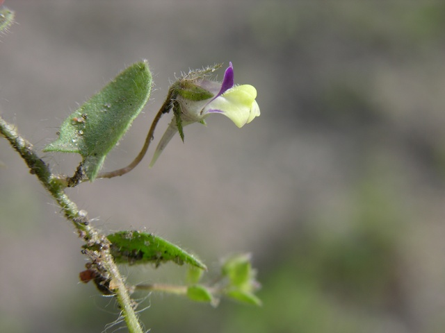 Sharp-Leaved Fluellen (Kickxia elatine)