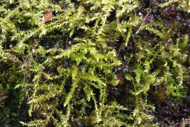 Common Feather-moss (Kindbergia praelonga)