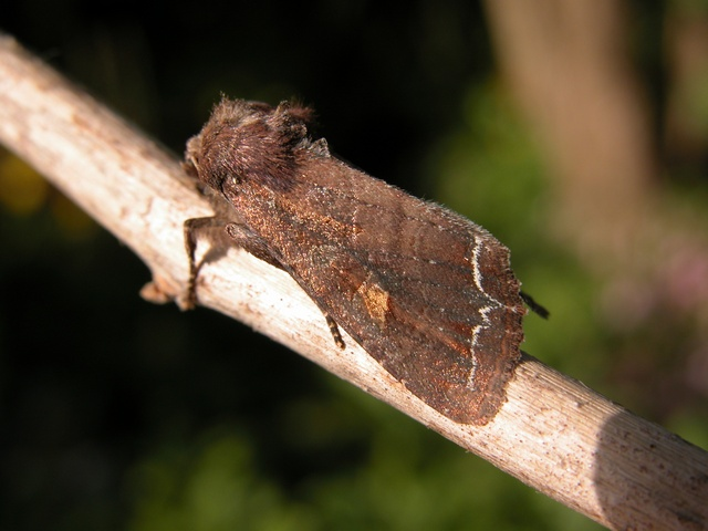 Bright-line Brown-eye (Lacanobia oleracea)