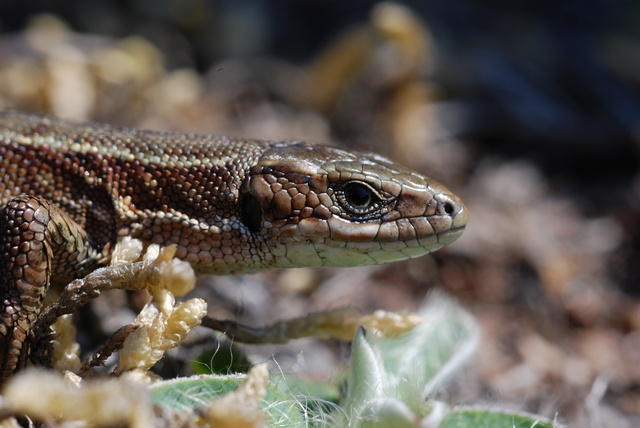 Common Lizard (Lacerta vivipara)