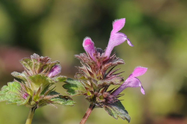 Northern Dead-Nettle (Lamium confertum)