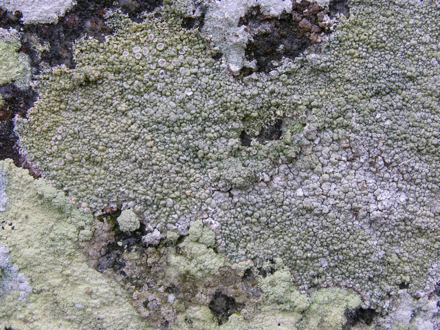 Lecanora rupicola photo