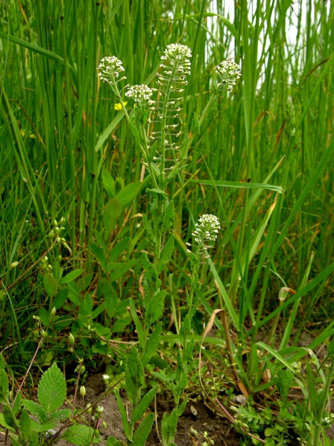 Field Pepperwort (Lepidium campestre)