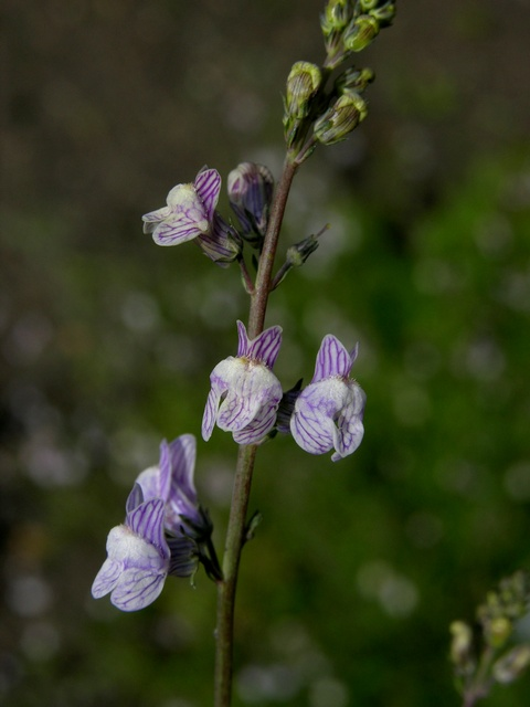 Pale Toadflax (Linaria repens)