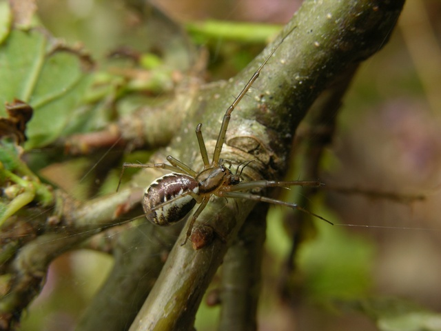 Linyphia triangularis