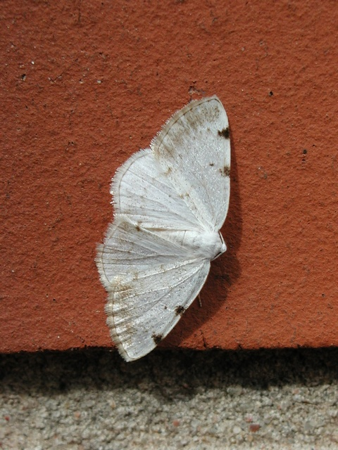 White-pinion Spotted (Lomographa bimaculata)