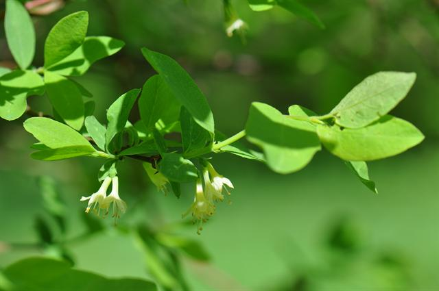 Blue-berried Honeysuckle (Lonicera caerulea ssp. caerulea)
