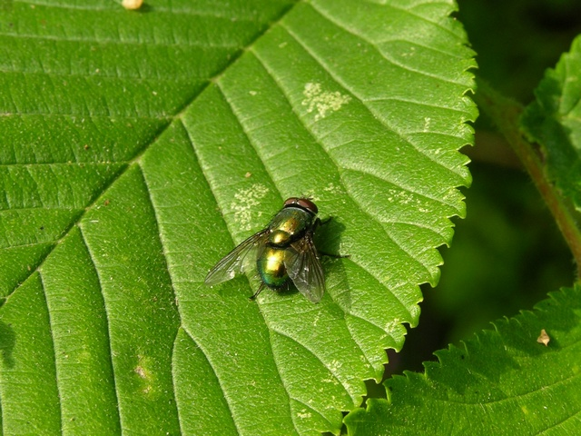 Green bottle fly (Lucilia sericata)