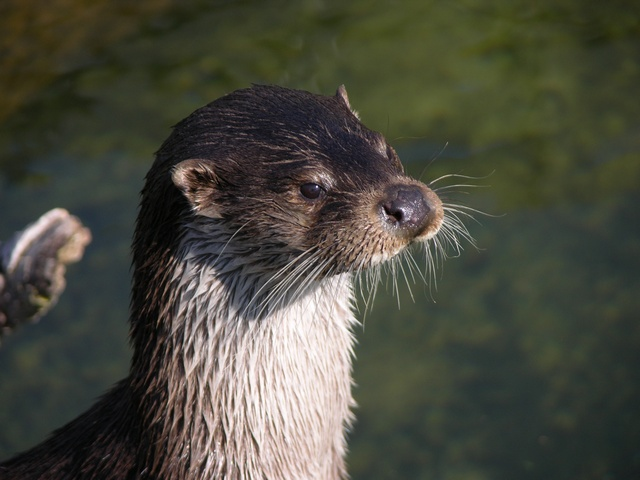 Otter (Lutra lutra)