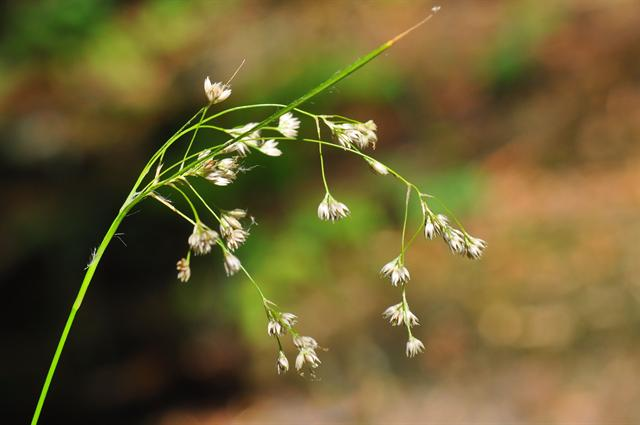 White Wood-Rush (Luzula luzuloides)