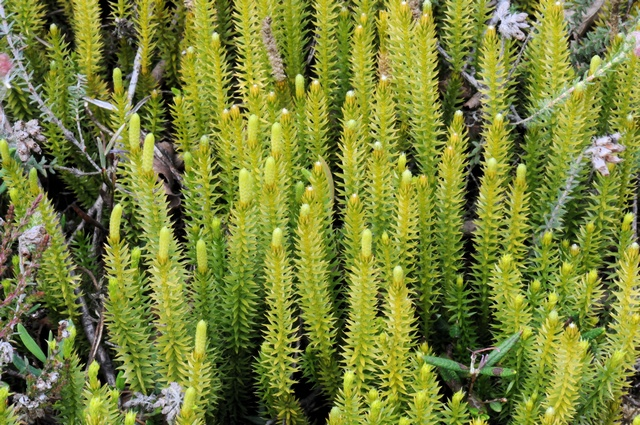 Interrupted Clubmoss (Lycopodium annotinum)