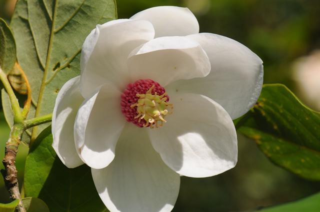 magnolia sieboldii biopix photo image 80485. Black Bedroom Furniture Sets. Home Design Ideas