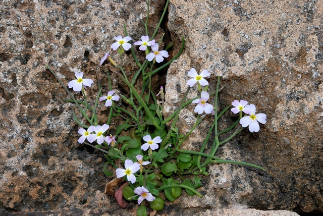Malcolmia flexuosa photo