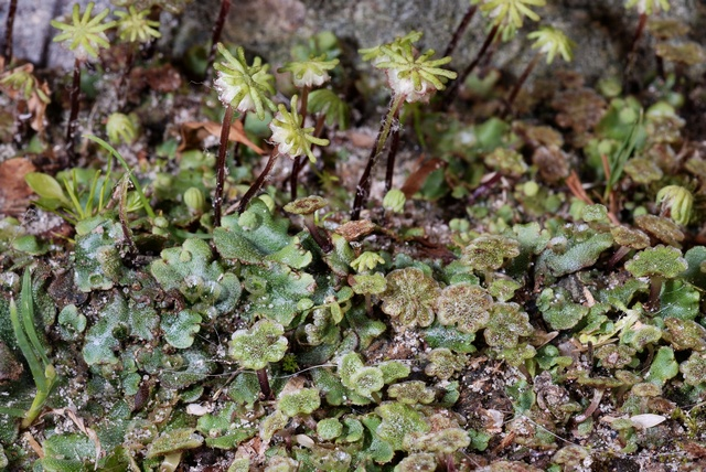 Common Liverwort (Marchantia latifolia)