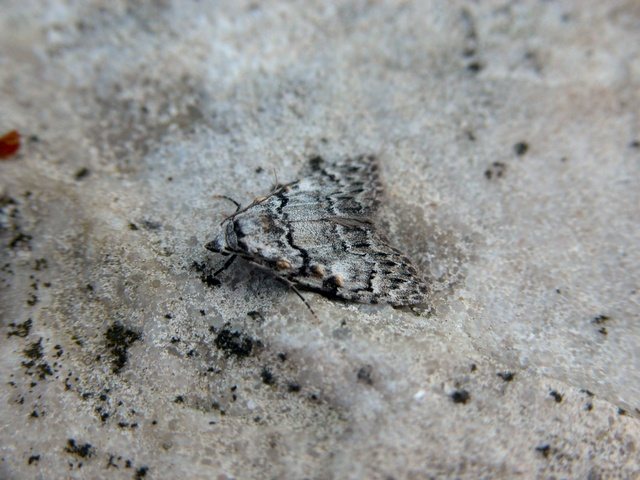 Small Black Arches (Meganola strigula)