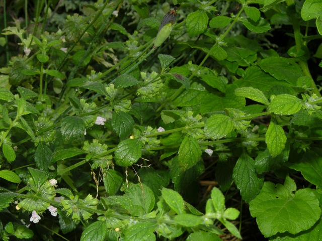 Neotropical Plant Portal Image Details: #3941