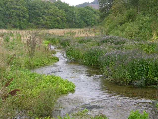 Mentha aquatica image