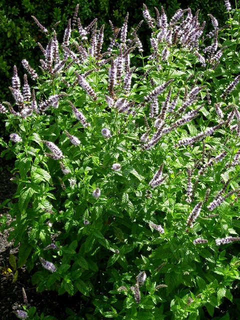 Water Mint (Mentha spicata)
