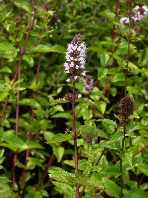 Water Mint (Mentha x piperita)