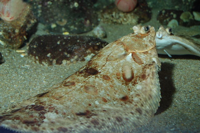 Lemon sole   (Microstomus kitt)
