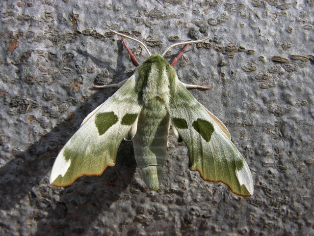 Lime Hawk-moth (Mimas tiliae)