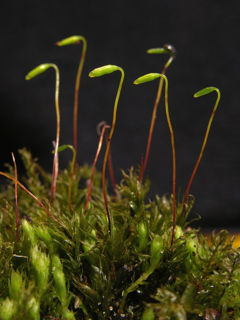 Plantae image