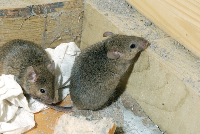 House Mouse (Mus musculus)
