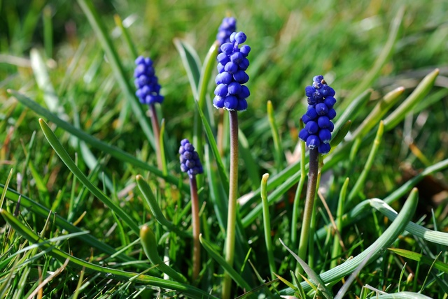 Small Grape Hyacinth (Muscari botryoides)