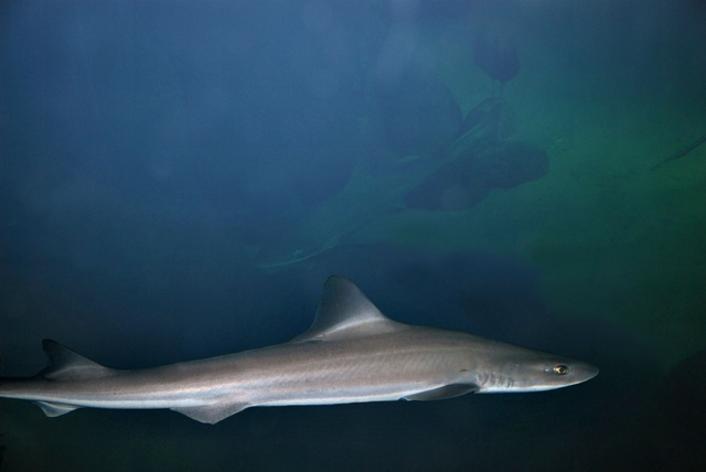 Smoothhound (Mustelus mustelus)
