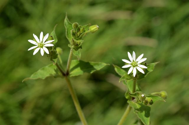 Water Chickweed (Myosoton aquaticum)