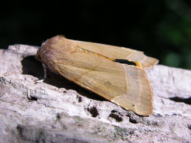 Broad-bordered Yellow Undewing (Noctua fimbriata)