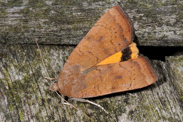 Least Yellow Underwing (Noctua interjecta)