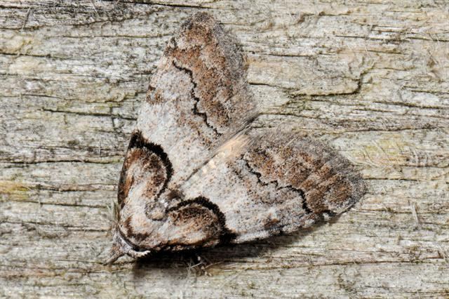 Short-cloaked Moth (Nola cucullatella)