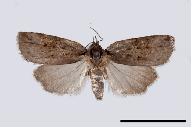 Nycteola asiatica