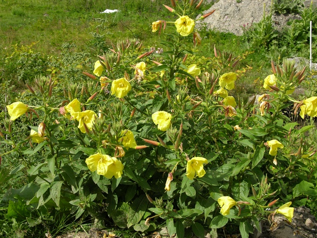 Oenothera image