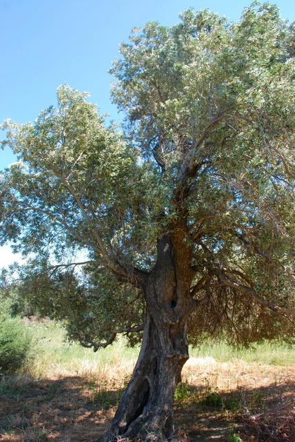 olive olea europaea var europaea biopix photo image 56112. Black Bedroom Furniture Sets. Home Design Ideas